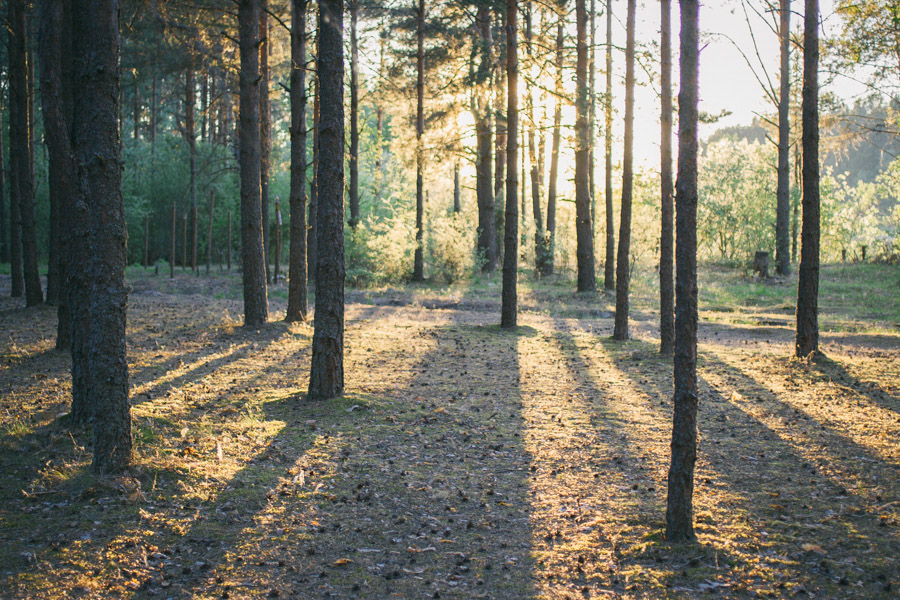 вечерний свет в лесу
