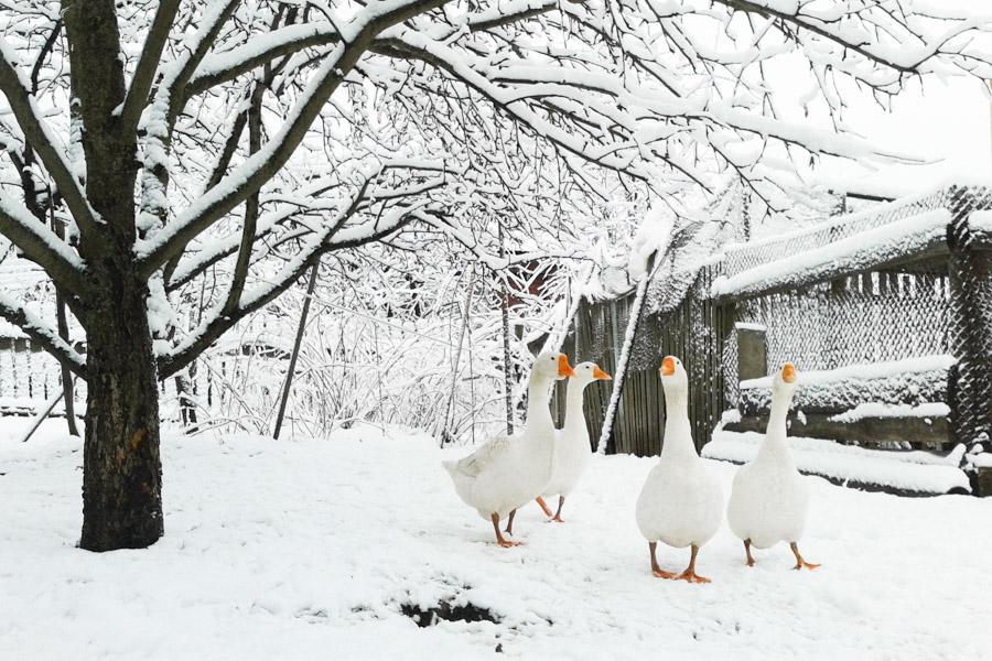 гуси на снегу